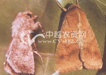 水稻稻田棉铃虫