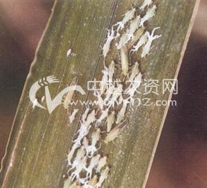 水稻长绿飞虱