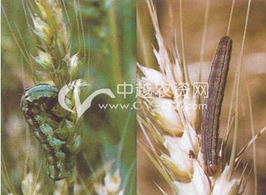 麦田棉铃虫