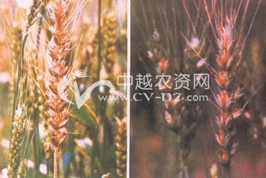 小麦蜜穗病