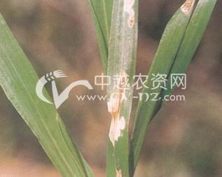 小麦链格孢叶枯病