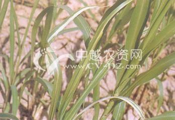 小麦细菌性条斑病