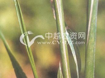 小麦白秆病