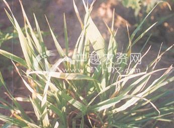 小麦丛矮病