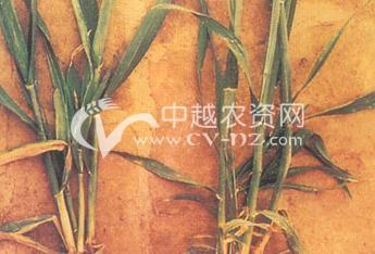小麦蓝矮病毒病
