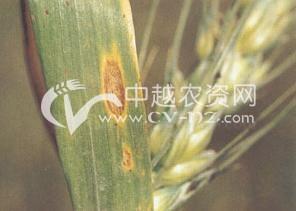 小麦黄斑叶枯病