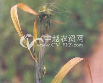 小麦粒瘿线虫病