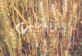 小麦干热风害