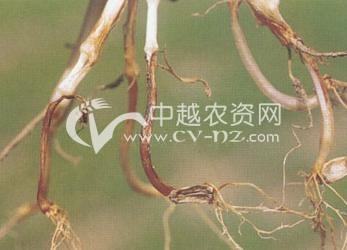 小麦(镰刀菌)根腐病
