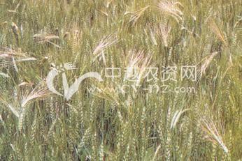 小麦混杂退化