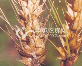 小麦穗发芽