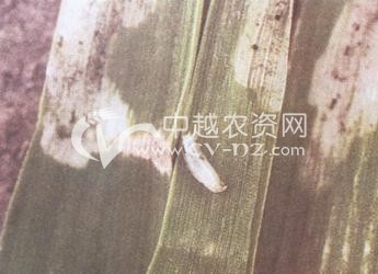 麦黑斑潜叶蝇