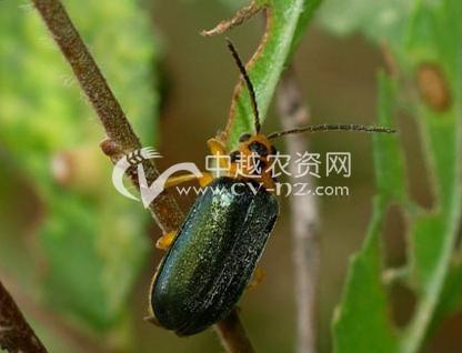 绿翅脊萤叶甲