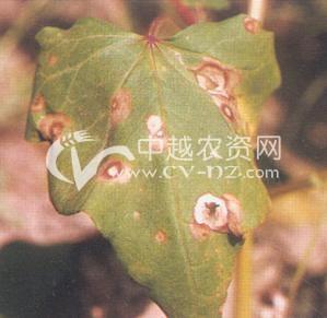荞麦叶斑病