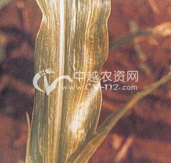 玉米空气污染
