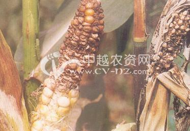 玉米丝核菌穗腐病