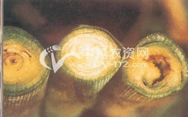 玉米细菌萎蔫病
