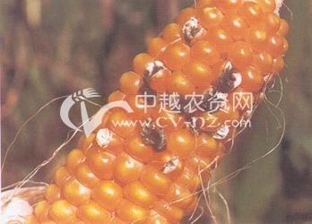 玉米枝孢穗腐病
