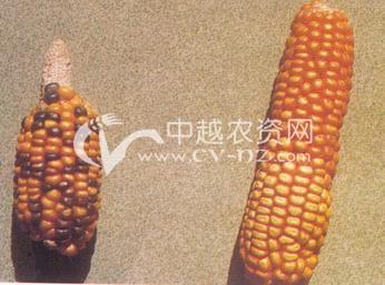 玉米变异穗和双色穗