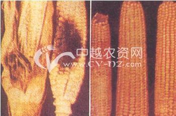玉米色二孢穗腐病