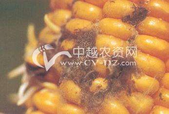 玉米灰葡萄孢穗腐病