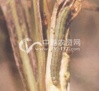 玉米叶夜蛾(甜菜夜蛾)