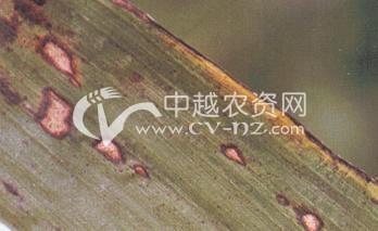 高粱球腔菌叶斑病