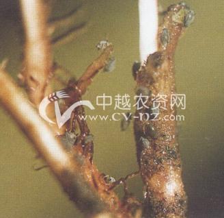 榆四脉绵蚜(高粱根蚜)