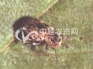 谷鳞斑叶甲