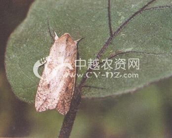 杂粮田粘虫