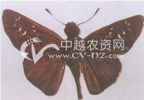 隐纹谷弄蝶