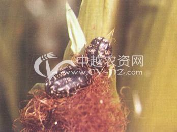白星花金龟