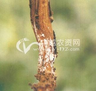 蚕豆核盘菌茎腐病