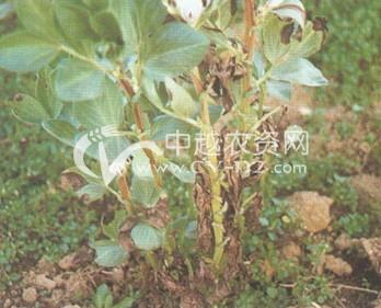 蚕豆镰刀菌萎蔫病