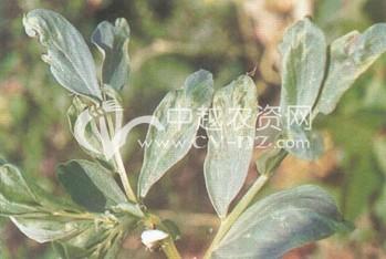 蚕豆(BBSV)染色病毒病