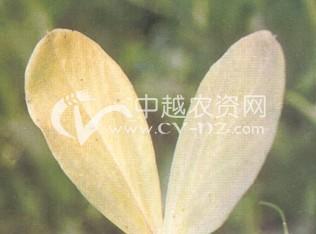 蚕豆(BYMV)花叶病