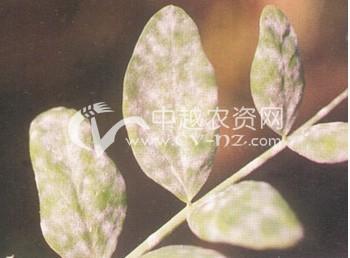 豌豆白粉病