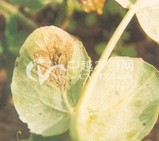 豌豆灰露病