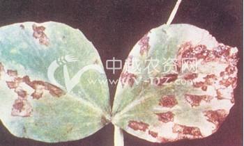 豌豆细菌性叶斑病
