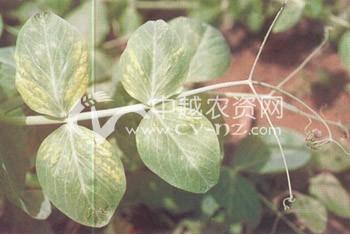 豌豆花叶病