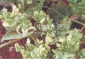 豌豆(BBWV)病毒病