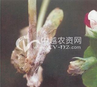 豌豆苗核病