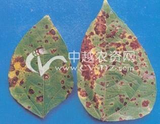 绿豆叶斑病
