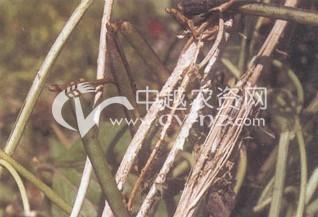 绿豆菌核病