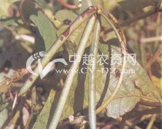 绿豆炭疽病
