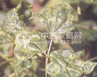 绿豆病毒病