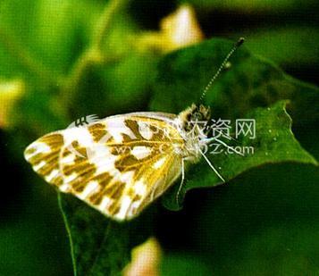 油菜云斑粉蝶