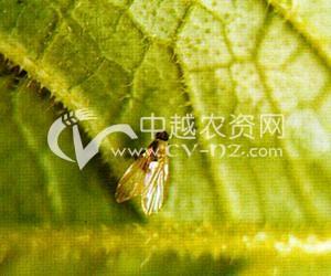 油菜肖藜泉蝇
