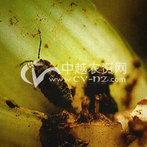 油菜西瓜虫