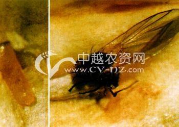 油菜豌豆彩潜蝇